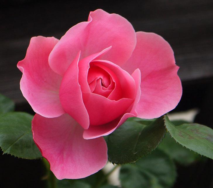 レオナルド・ダ・ヴィンチ(ツルバラ)が咲きだした。2017年-4.jpg