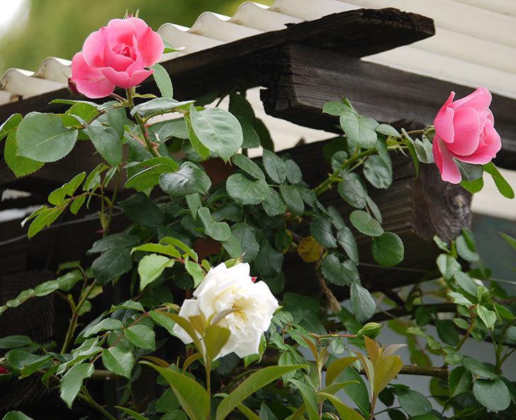 レオナルド・ダ・ヴィンチ(ツルバラ)が咲きだした。2017年-5.jpg