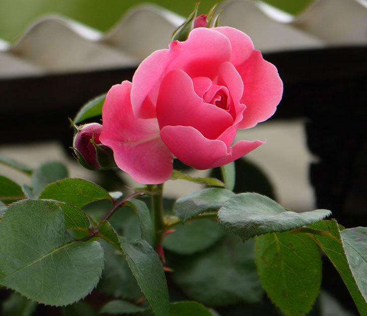レオナルド・ダ・ヴィンチ(ツルバラ)が咲きだした。2017年-6.jpg