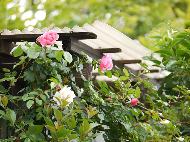 レオナルド・ダ・ヴィンチ(ツルバラ)が咲きだした。2017年-7.jpg