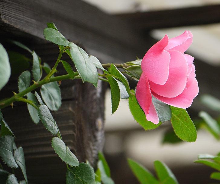 レオナルド・ダ・ヴィンチ(ツルバラ)が咲きだした。2017年-8.jpg