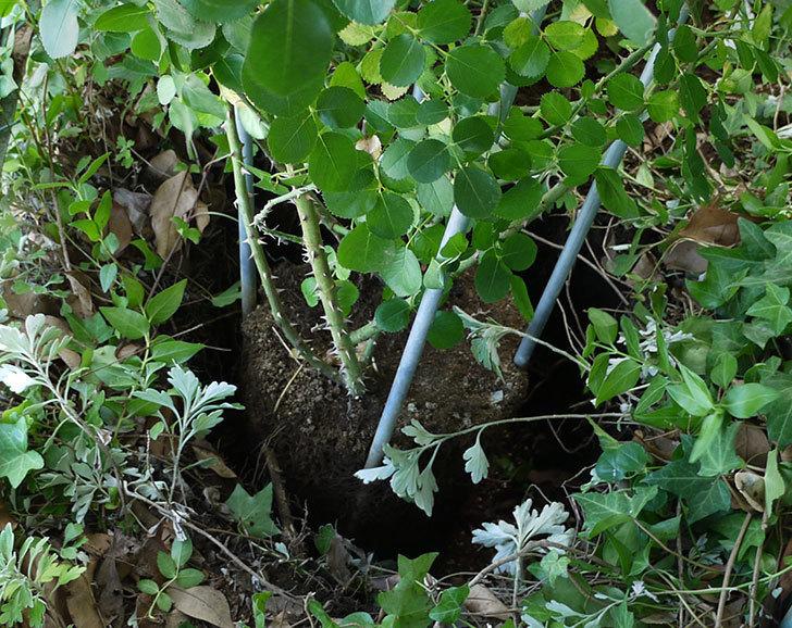 レオナルド・ダ・ヴィンチ(ツルバラ)の10号あんどん仕立てを地植えした。2016年-13.jpg
