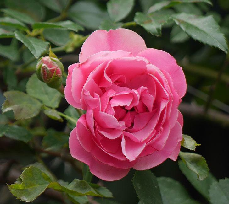 レオナルド・ダ・ヴィンチ(ツルバラ)の2番花が咲いた。2018年-1.jpg