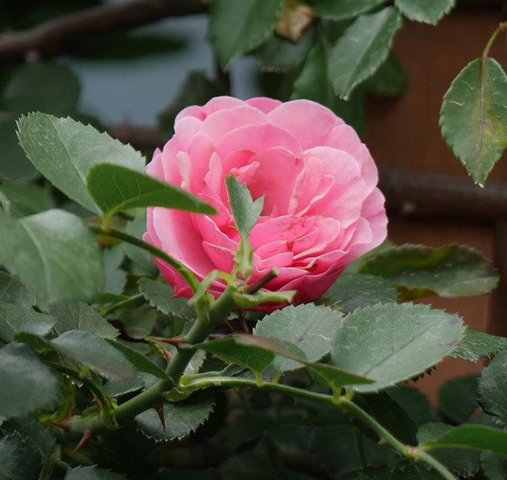 レオナルド・ダ・ヴィンチ(ツルバラ)の2番花が咲いた。2018年-3.jpg