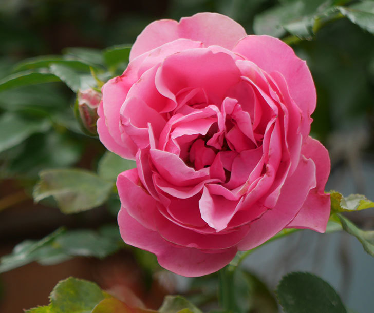 レオナルド・ダ・ヴィンチ(ツルバラ)の2番花が咲いた。2018年-4.jpg