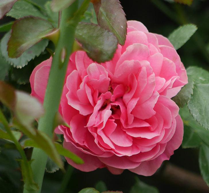 レオナルド・ダ・ヴィンチ(ツルバラ)の2番花が咲いた。2018年-5.jpg