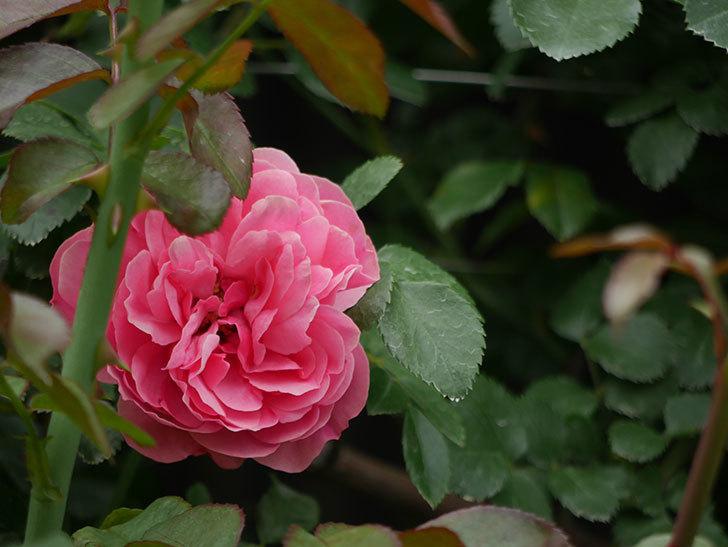 レオナルド・ダ・ヴィンチ(ツルバラ)の2番花が咲いた。2018年-6.jpg