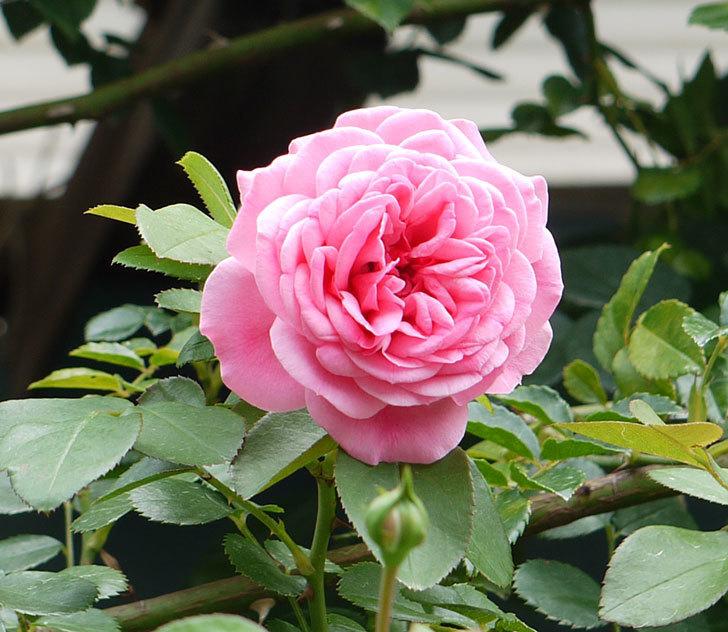 レオナルド・ダ・ヴィンチ(ツルバラ)の夏花が咲いた。2017年-1.jpg