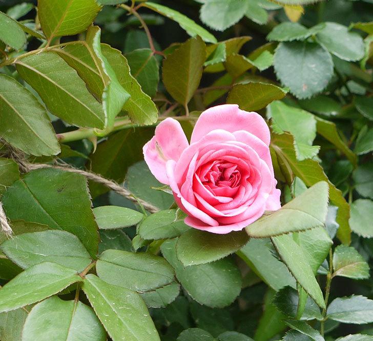 レオナルド・ダ・ヴィンチ(ツルバラ)の夏花が咲いた。2017年-2.jpg
