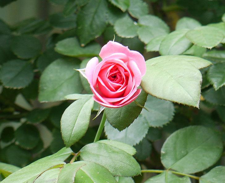 レオナルド・ダ・ヴィンチ(ツルバラ)の夏花が咲いた。2017年-3.jpg
