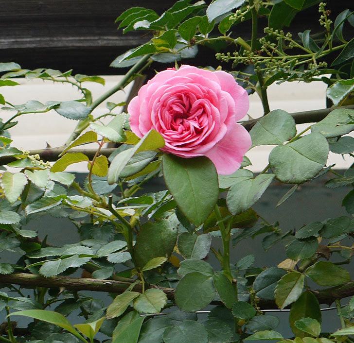 レオナルド・ダ・ヴィンチ(ツルバラ)の夏花が咲いた。2017年-4.jpg
