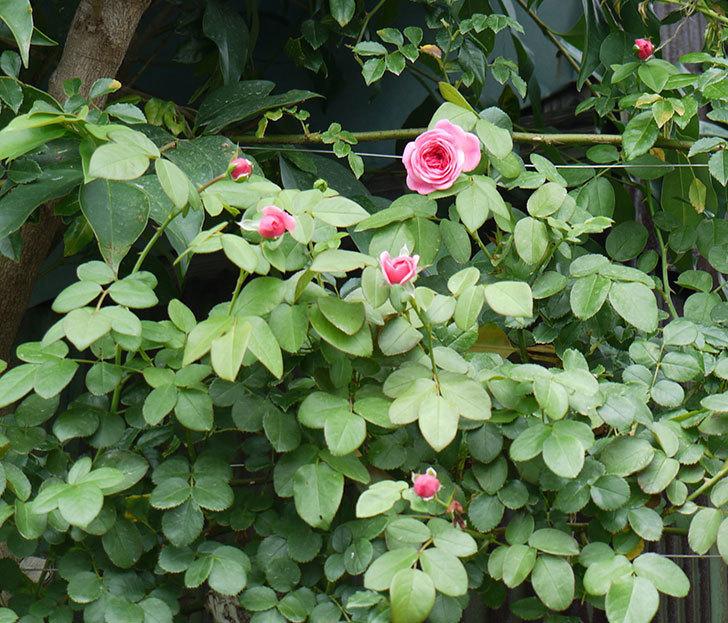 レオナルド・ダ・ヴィンチ(ツルバラ)の夏花が咲いた。2017年-5.jpg