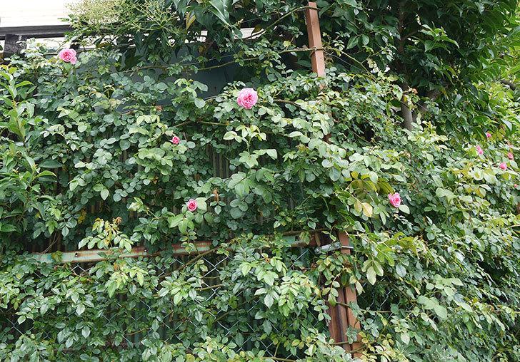 レオナルド・ダ・ヴィンチ(ツルバラ)の夏花が咲いた。2017年-6.jpg