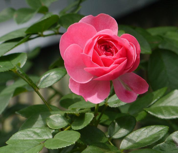 レオナルド・ダ・ヴィンチ(ツルバラ)の秋花が咲いた。2016年-1.jpg