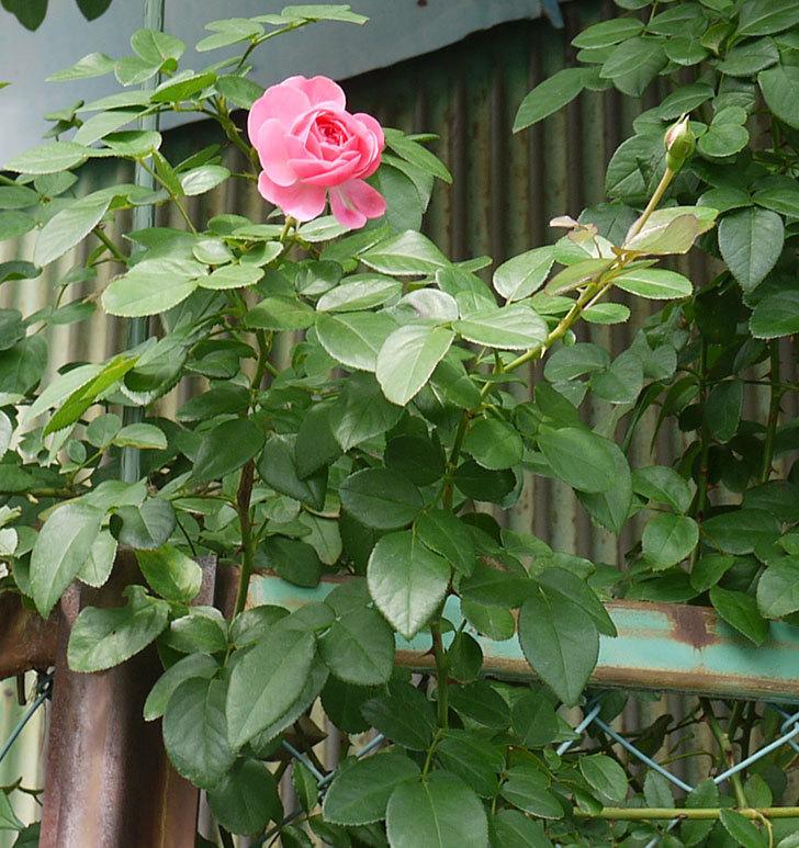 レオナルド・ダ・ヴィンチ(ツルバラ)の秋花が咲いた。2016年-4.jpg