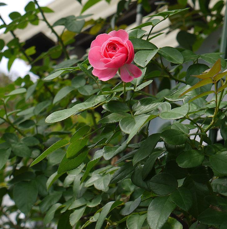 レオナルド・ダ・ヴィンチ(ツルバラ)の秋花が咲いた。2016年-5.jpg