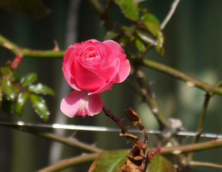 レオナルド・ダ・ヴィンチ(ツルバラ)の秋花が咲いた。2017年-1.jpg