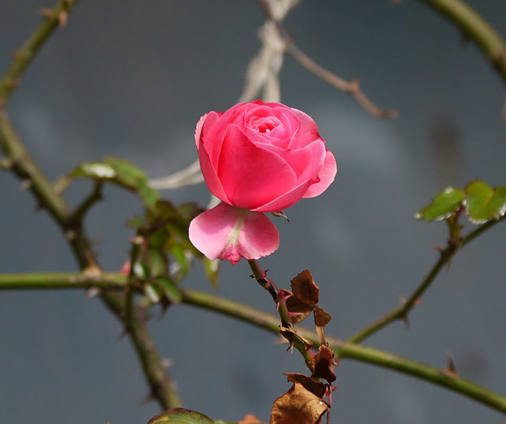 レオナルド・ダ・ヴィンチ(ツルバラ)の秋花が咲いた。2017年-3.jpg