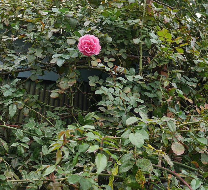 レオナルド・ダ・ヴィンチ(ツルバラ)の秋花が咲いた。2018年-3.jpg