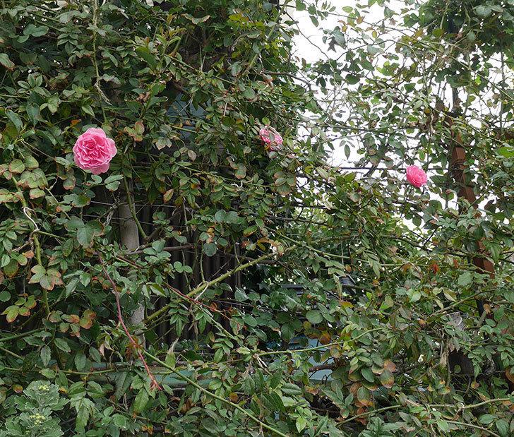 レオナルド・ダ・ヴィンチ(ツルバラ)の秋花が咲いた。2018年-4.jpg