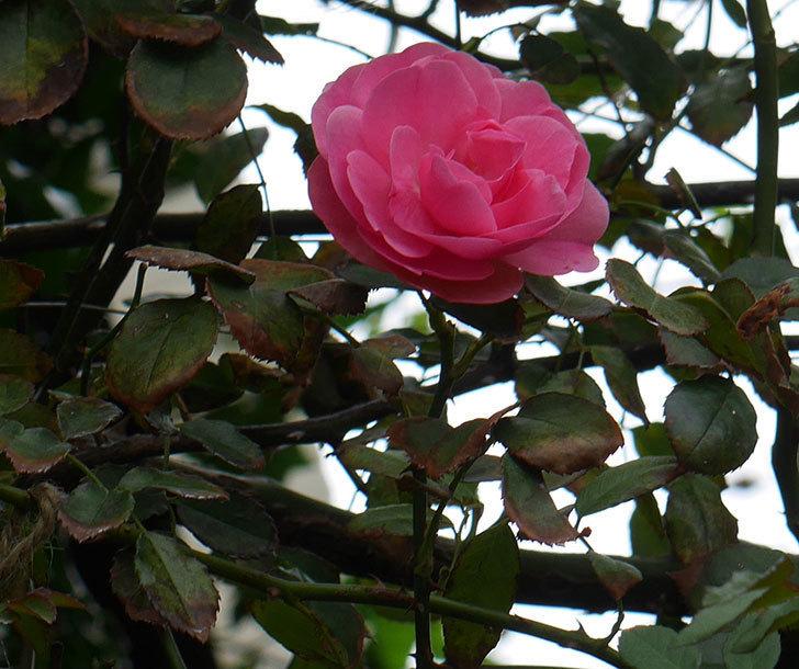 レオナルド・ダ・ヴィンチ(ツルバラ)の秋花が咲いた。2018年-6.jpg