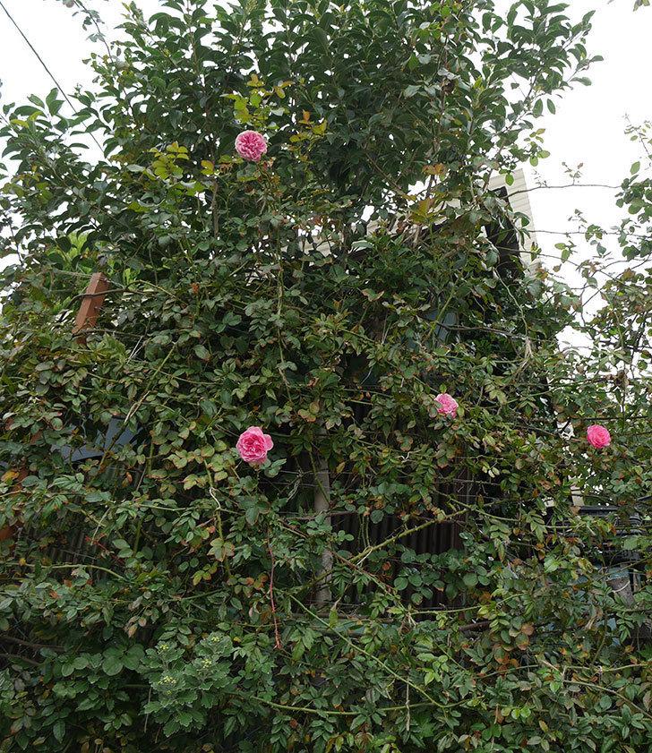レオナルド・ダ・ヴィンチ(ツルバラ)の秋花が咲いた。2018年-7.jpg