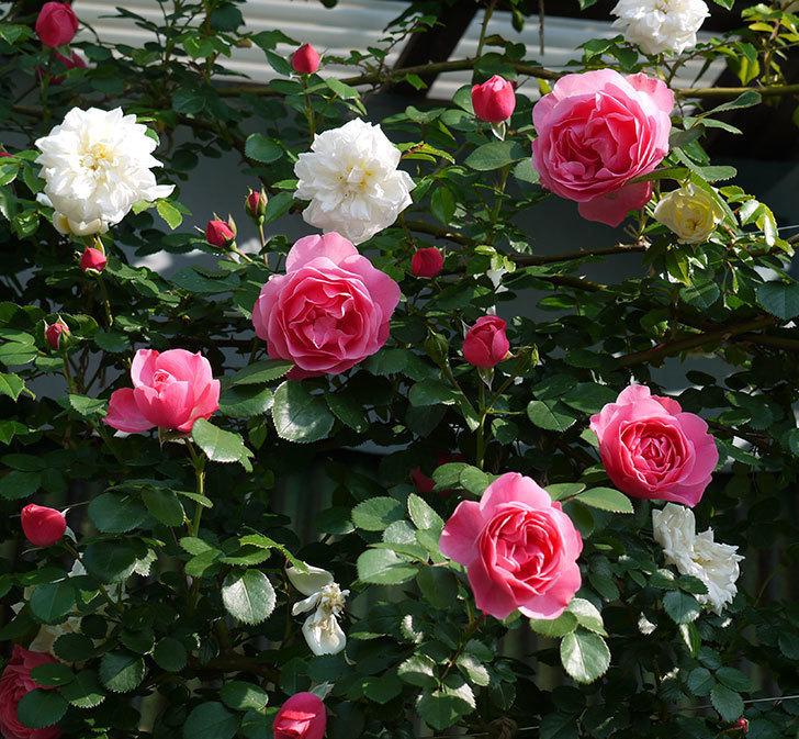 レオナルド・ダ・ヴィンチ(ツルバラ)の花がたくさん咲いた。2017年-1.jpg