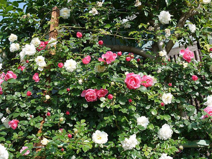 レオナルド・ダ・ヴィンチ(ツルバラ)の花がたくさん咲いた。2017年-10.jpg