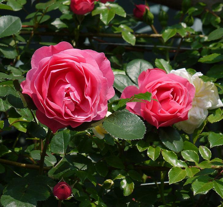 レオナルド・ダ・ヴィンチ(ツルバラ)の花がたくさん咲いた。2017年-12.jpg