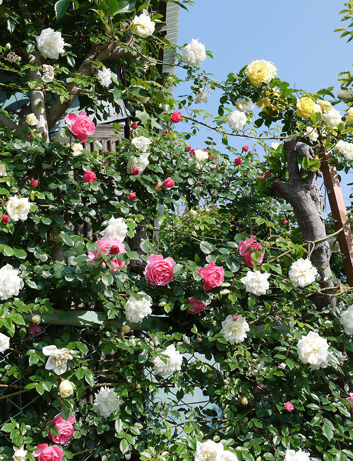 レオナルド・ダ・ヴィンチ(ツルバラ)の花がたくさん咲いた。2017年-13.jpg