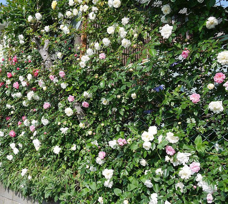 レオナルド・ダ・ヴィンチ(ツルバラ)の花がたくさん咲いた。2017年-14.jpg