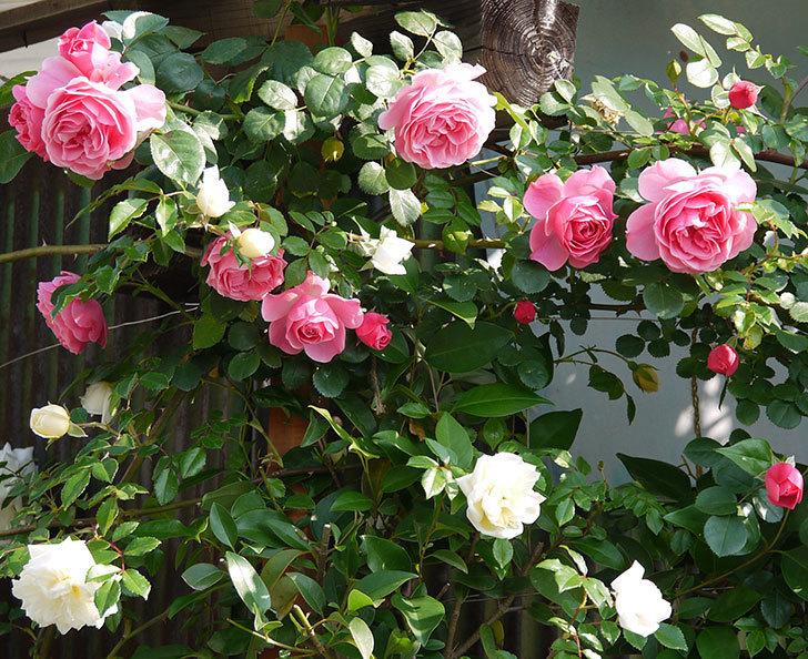 レオナルド・ダ・ヴィンチ(ツルバラ)の花がたくさん咲いた。2017年-15.jpg