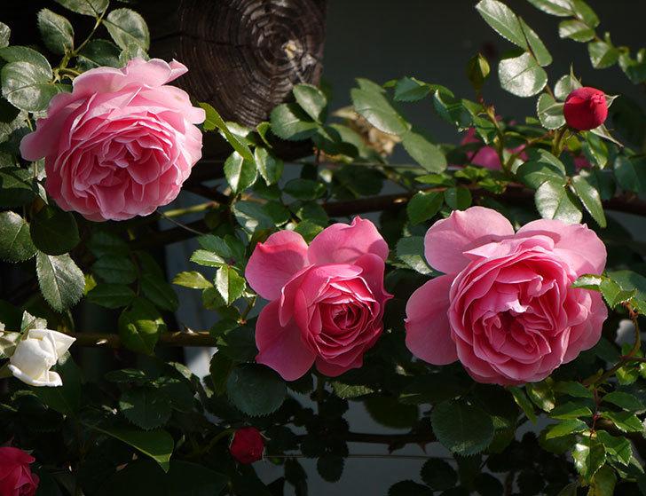レオナルド・ダ・ヴィンチ(ツルバラ)の花がたくさん咲いた。2017年-16.jpg
