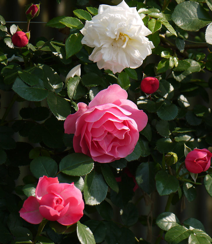 レオナルド・ダ・ヴィンチ(ツルバラ)の花がたくさん咲いた。2017年-17.jpg