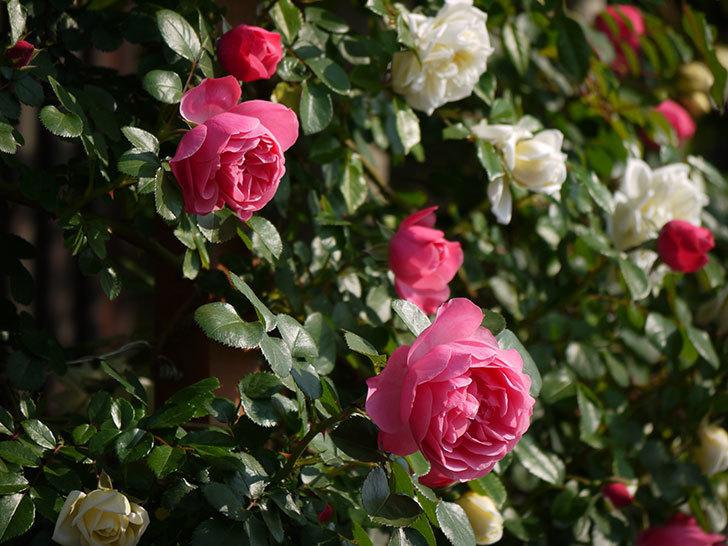 レオナルド・ダ・ヴィンチ(ツルバラ)の花がたくさん咲いた。2017年-18.jpg