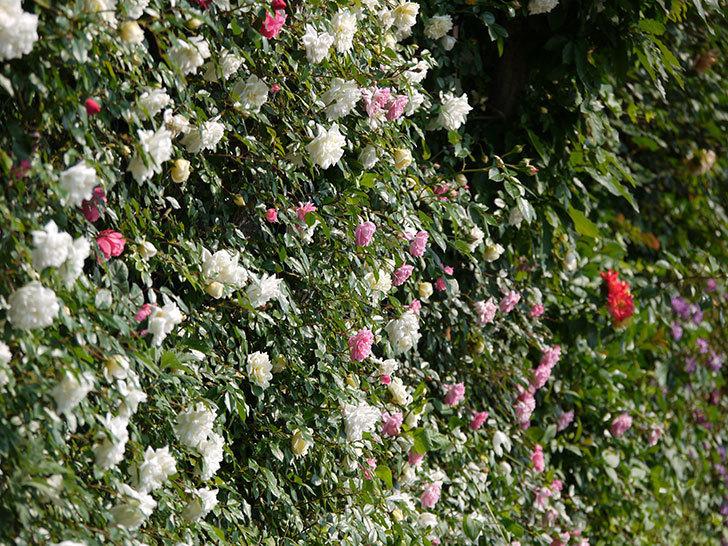 レオナルド・ダ・ヴィンチ(ツルバラ)の花がたくさん咲いた。2017年-19.jpg