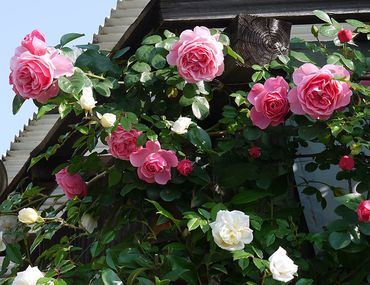 レオナルド・ダ・ヴィンチ(ツルバラ)の花がたくさん咲いた。2017年-2.jpg