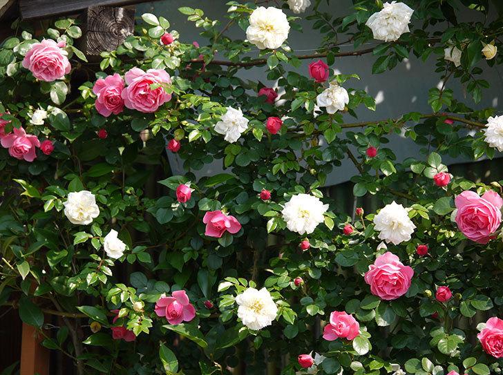 レオナルド・ダ・ヴィンチ(ツルバラ)の花がたくさん咲いた。2017年-20.jpg