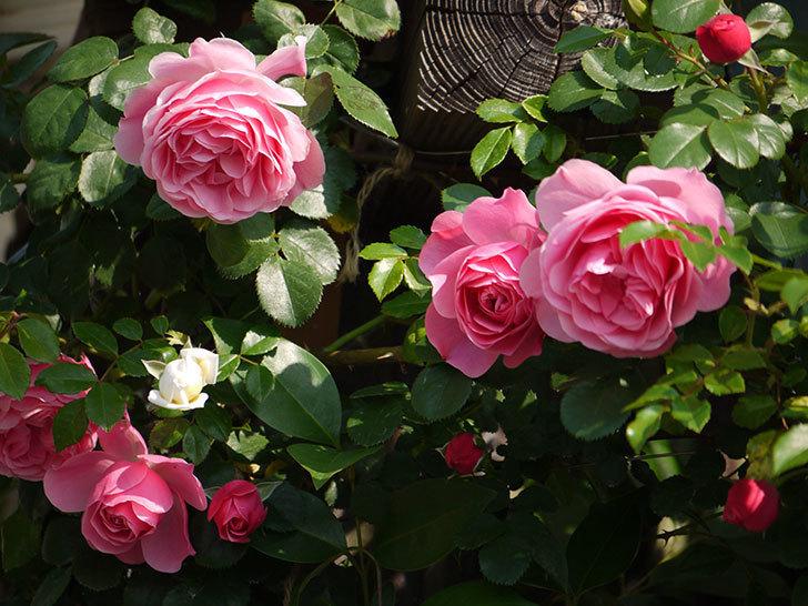 レオナルド・ダ・ヴィンチ(ツルバラ)の花がたくさん咲いた。2017年-21.jpg