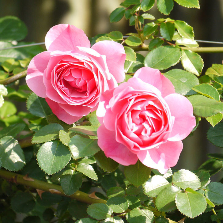 レオナルド・ダ・ヴィンチ(ツルバラ)の花がたくさん咲いた。2017年-22.jpg
