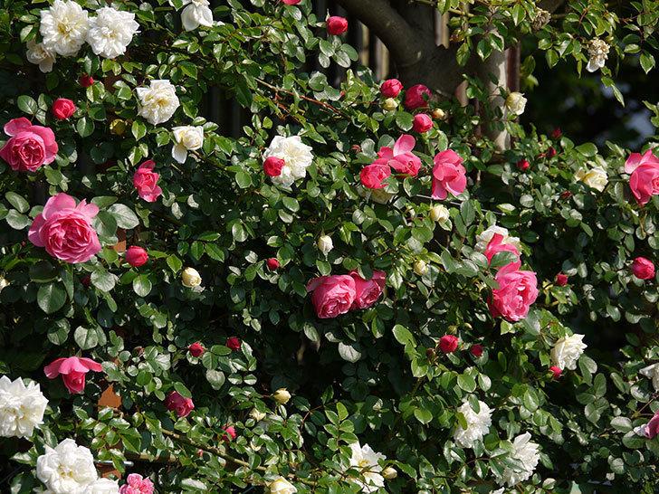 レオナルド・ダ・ヴィンチ(ツルバラ)の花がたくさん咲いた。2017年-24.jpg