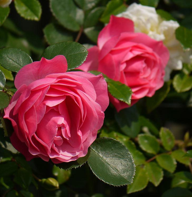 レオナルド・ダ・ヴィンチ(ツルバラ)の花がたくさん咲いた。2017年-26.jpg