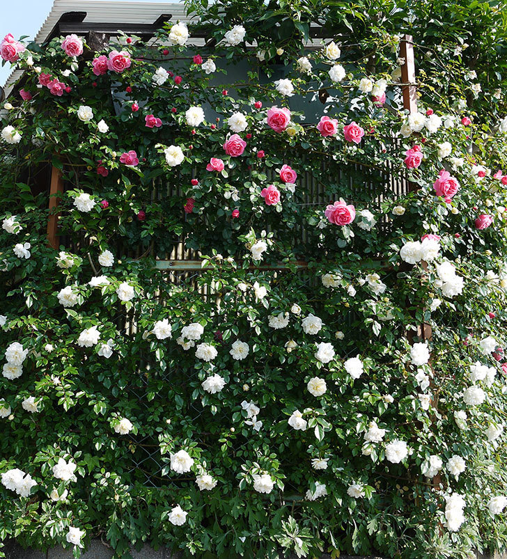 レオナルド・ダ・ヴィンチ(ツルバラ)の花がたくさん咲いた。2017年-3.jpg