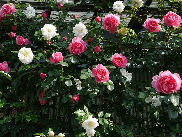 レオナルド・ダ・ヴィンチ(ツルバラ)の花がたくさん咲いた。2017年-7.jpg