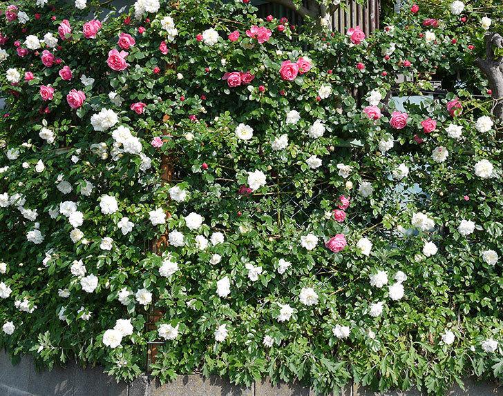 レオナルド・ダ・ヴィンチ(ツルバラ)の花がたくさん咲いた。2017年-9.jpg