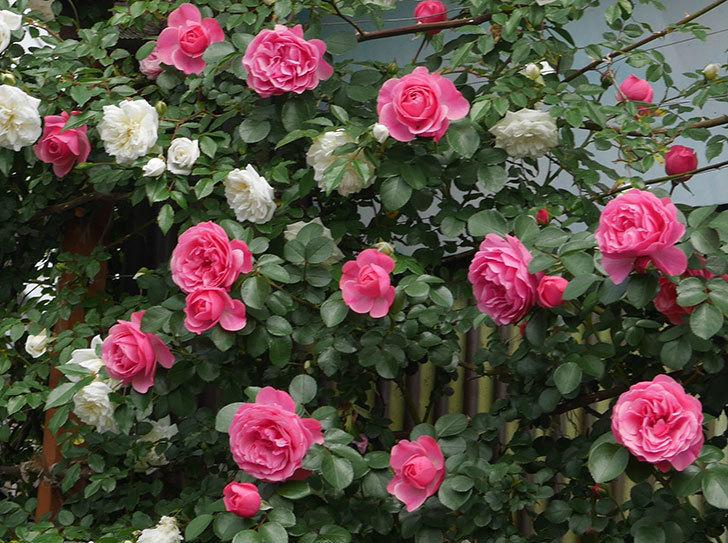レオナルド・ダ・ヴィンチ(ツルバラ)の花がたくさん咲いた。2018年-1.jpg