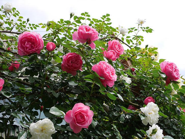 レオナルド・ダ・ヴィンチ(ツルバラ)の花がたくさん咲いた。2018年-10.jpg