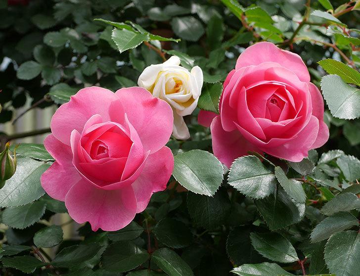 レオナルド・ダ・ヴィンチ(ツルバラ)の花がたくさん咲いた。2018年-13.jpg