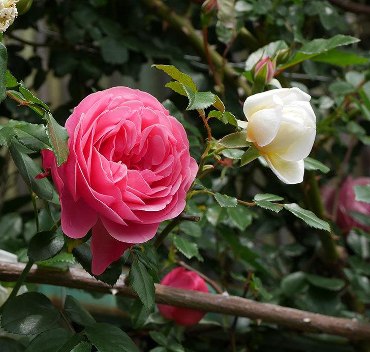 レオナルド・ダ・ヴィンチ(ツルバラ)の花がたくさん咲いた。2018年-14.jpg