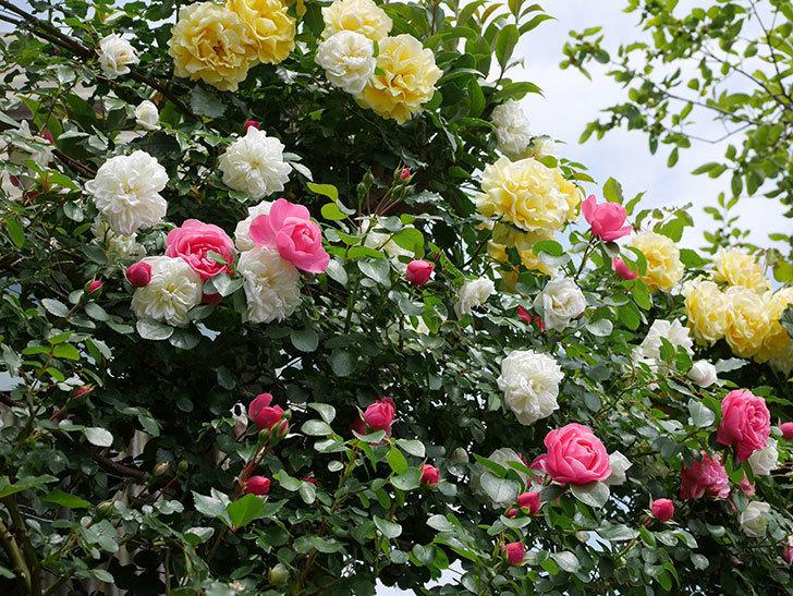 レオナルド・ダ・ヴィンチ(ツルバラ)の花がたくさん咲いた。2018年-15.jpg